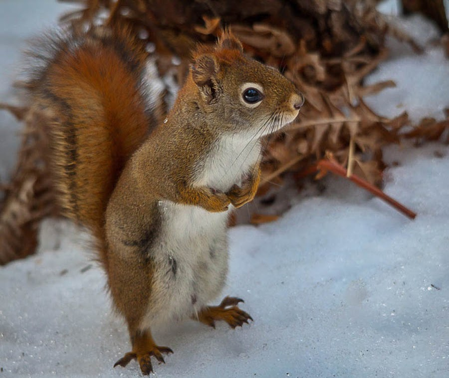 Red Squirrel in Algonquin Park by Steve Dunsford - Animals Other Mammals ( canon, canada, wildlife, ontario, red, winter, nature, algonquin, snow, red squirrel, outdoor, algonquin park, squirrel, animal )