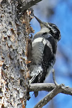 Photo: Three-toed Woodpecker (female)
