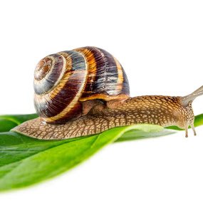 snail on green leaf by Grigor  Ivanov - Animals Other ( plant, isolated, discoverer, invertebrate, detail, speed, common, green, one, crawl, indoors, wildlife, shine, leaf, mollusk, close-up, soft, up, close, macro, nature, background, helix, brown, stem, snail, garden, animal )