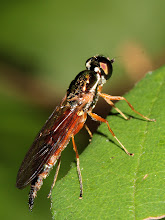 Photo: Soldier Fly
