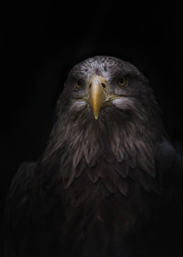Eagle by Michael Wipperfürth - Animals Birds ( bird, eagle, wildlife, portrait, animal )