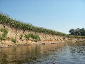 Photo: Dużo kukurydzy na brzegu