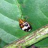 Pentatomoidea nymph