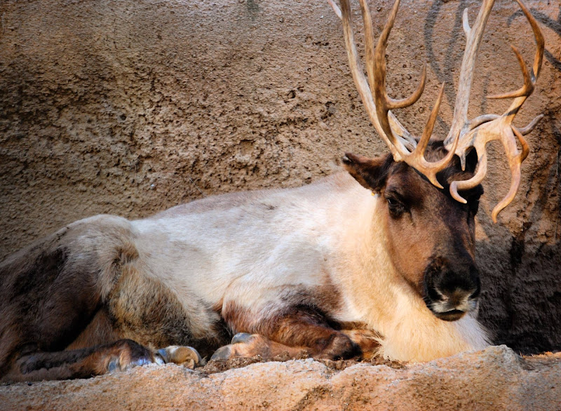 A reindeer shows off its stately antlers at the San Diego Zoo.