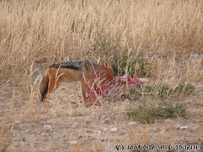 Photo: Šakal a zbytek Oryxe z včerejšího úlovku lví smečky / Jackal feeding on left over Oryx from last night's lion's kill