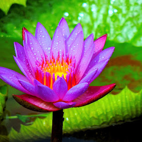 Water lily by Yusop Sulaiman - Nature Up Close Flowers - 2011-2013 (  )