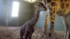It's a Baby Giraffe! thumbnail