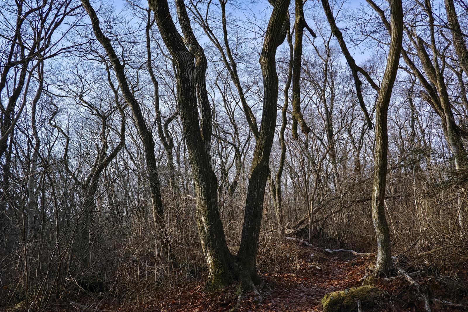 Photo: 「分岐」 / Fork.  静寂に包まれた森 木々が語り始める 行く先は何処 無意識に足が運ぶ 奥へ奥へと  SIGMA dp1 Quattro #SIGMA #dp1 #Quattro #Foveon #landscapephotography ( http://takafumiooshio.com/archives/873 )