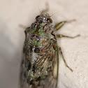 Cape Emerald Cicada