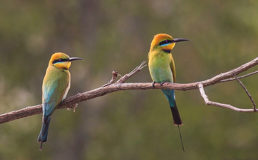 Rainbow Bee Eaters by Roz Griffin - Animals Birds ( colour, two, rainbow bee eaters, pair, mask, bee eaters, birds )