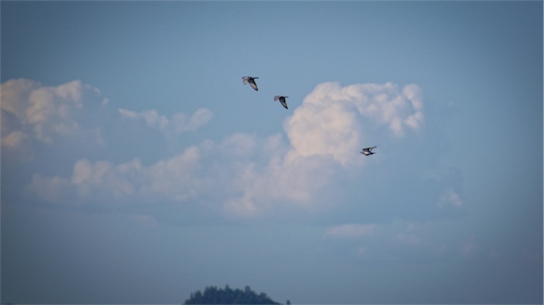 Pigeons Flying.jpg