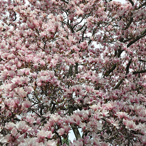 Full blown blossoms by Linda Brooks - Flowers Tree Blossoms ( spring, flowers, flowering tree, tree, magnoila )
