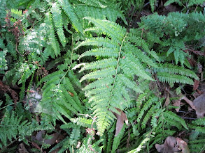 Photo: Ferndell gardens - One of the among 50 species of ferns in the garden