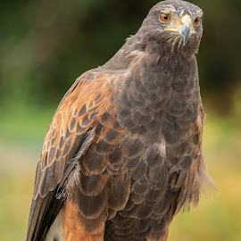 Harris Hawk by Barry Smith - Animals Birds ( bird of prey, nature, ornithology, animals, birds )