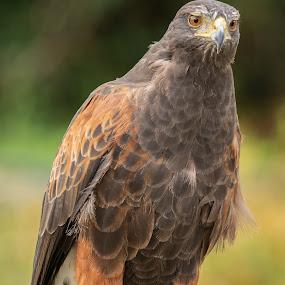 Harris Hawk by Barry Smith - Animals Birds ( bird of prey, nature, ornithology, animals, birds )