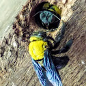 Black and yellow carpenter bee