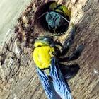 Black and yellow carpenter bee