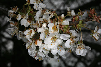 Photo: Cherry Blossoms, DHG