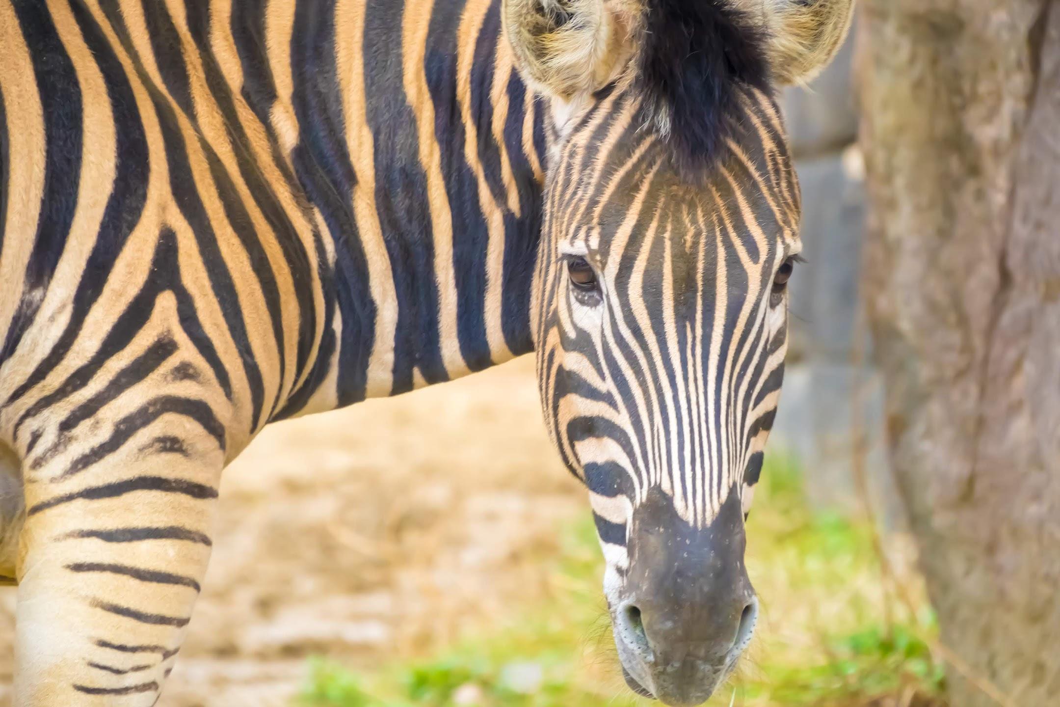 Kobe Oji Zoo giant zebra2