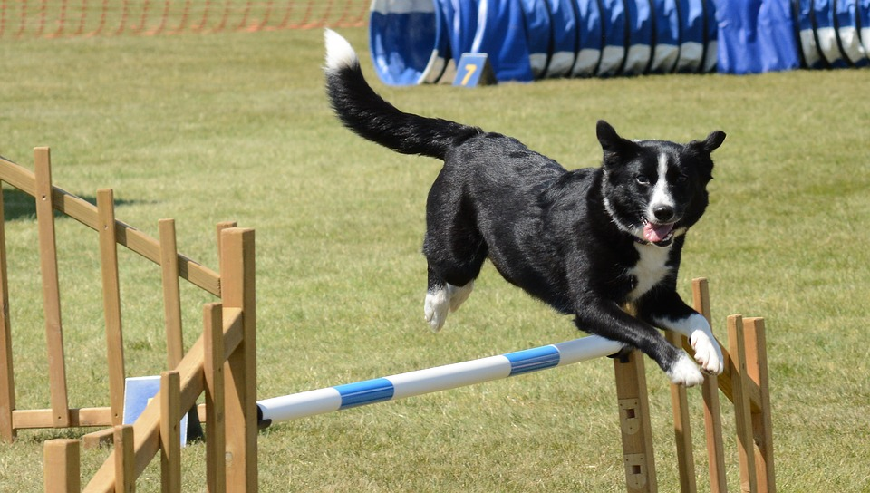 dog agility training jumps