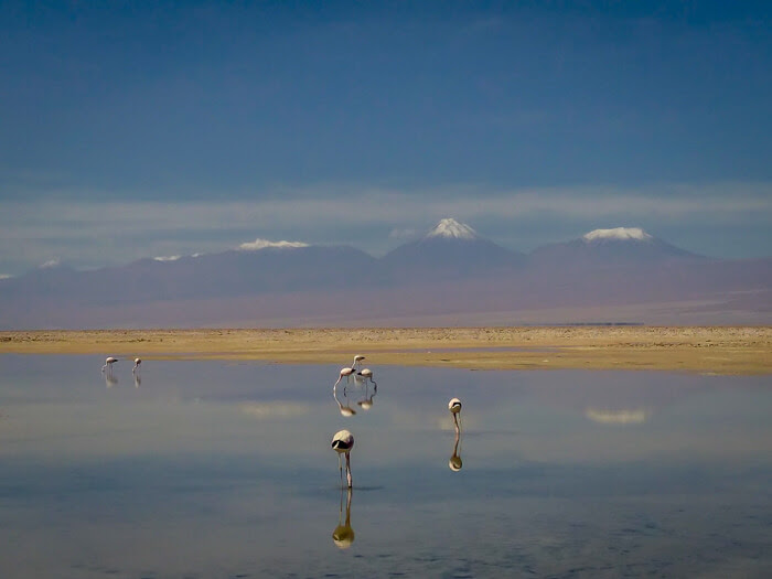 flamingoes in chile atacama for Travel Guide to Chile