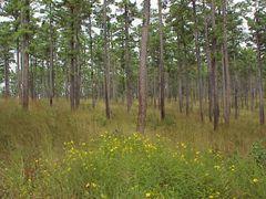 Shortleaf Pine forest