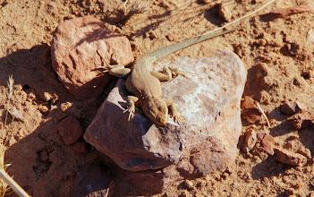 Photo: Side-blotched Lizard