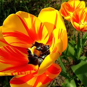 Tulipan by Pepica Perišić - Flowers Flower Gardens