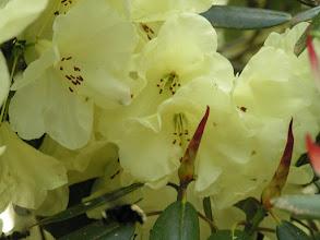 Photo: Yellow Rhody