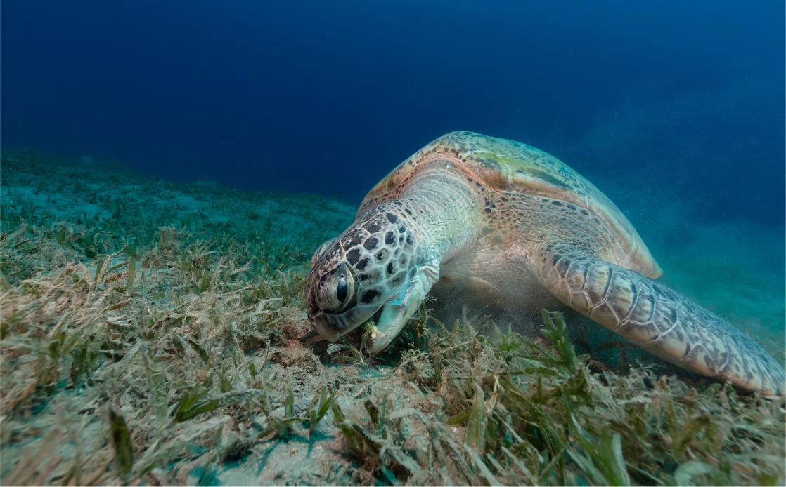 sea turtle eating sea grass
