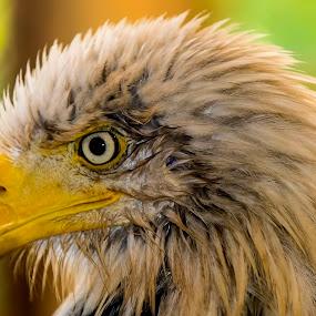 Bald Eagle by Bill Frische - Animals Birds ( eagle, beak, white, bald, head, close up )