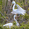 Great White Egret - female and male