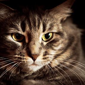 ... by Daniel Gaudin - Animals - Cats Portraits ( cat, color, photography, portrait, animal,  )