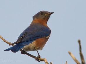 Photo: Eastern Bluebird