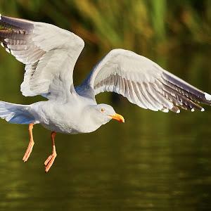 00 Seagull 99916~.jpg