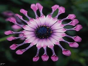Fotografija: terapia purple 39