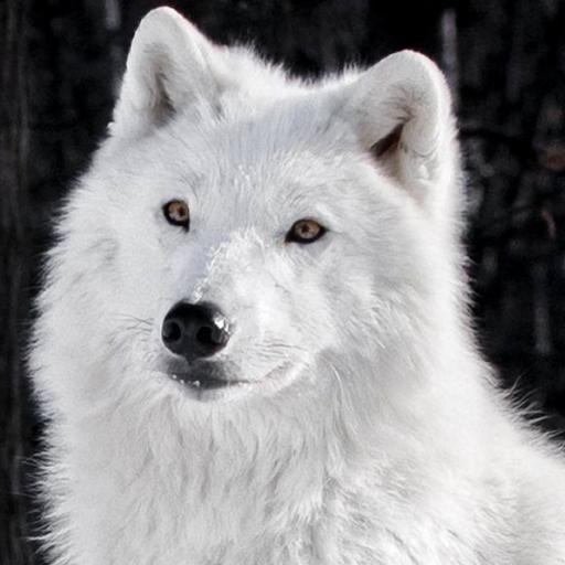 Lwp 北極オオカミ 個人化 App LOGO-硬是要APP
