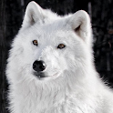 arctic wolf wallpapers icon
