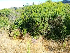 Photo: Eucalyptus and coyote brush