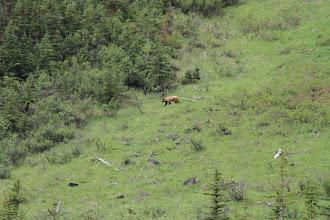 Photo: Wirklich... das ist ein Grizzly. Leider zu weit weg für ein gutes Foto