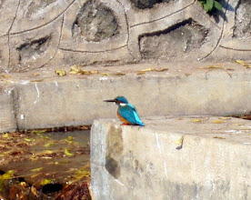Photo: Kingfishers are the popular beautiful wild birds we can meet in Pune. Many people may know them because of the famous indigenous brewery Kingfisher. They are amazingly beautiful and I expect something lucky event whenever I see them. Carrying a binocular with you is recommended to enjoy bird watching when you are visiting India.  13th September updated (日本語はこちら♪) - http://jp.asksiddhi.in/daily_detail.php?id=300