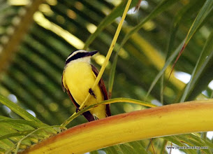 Photo: Social Flycatcher at Nuevo Vallarta
