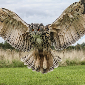 Wingspan by Garry Chisholm - Animals Birds ( bird, nature, wildlife, prey, eagle owl )