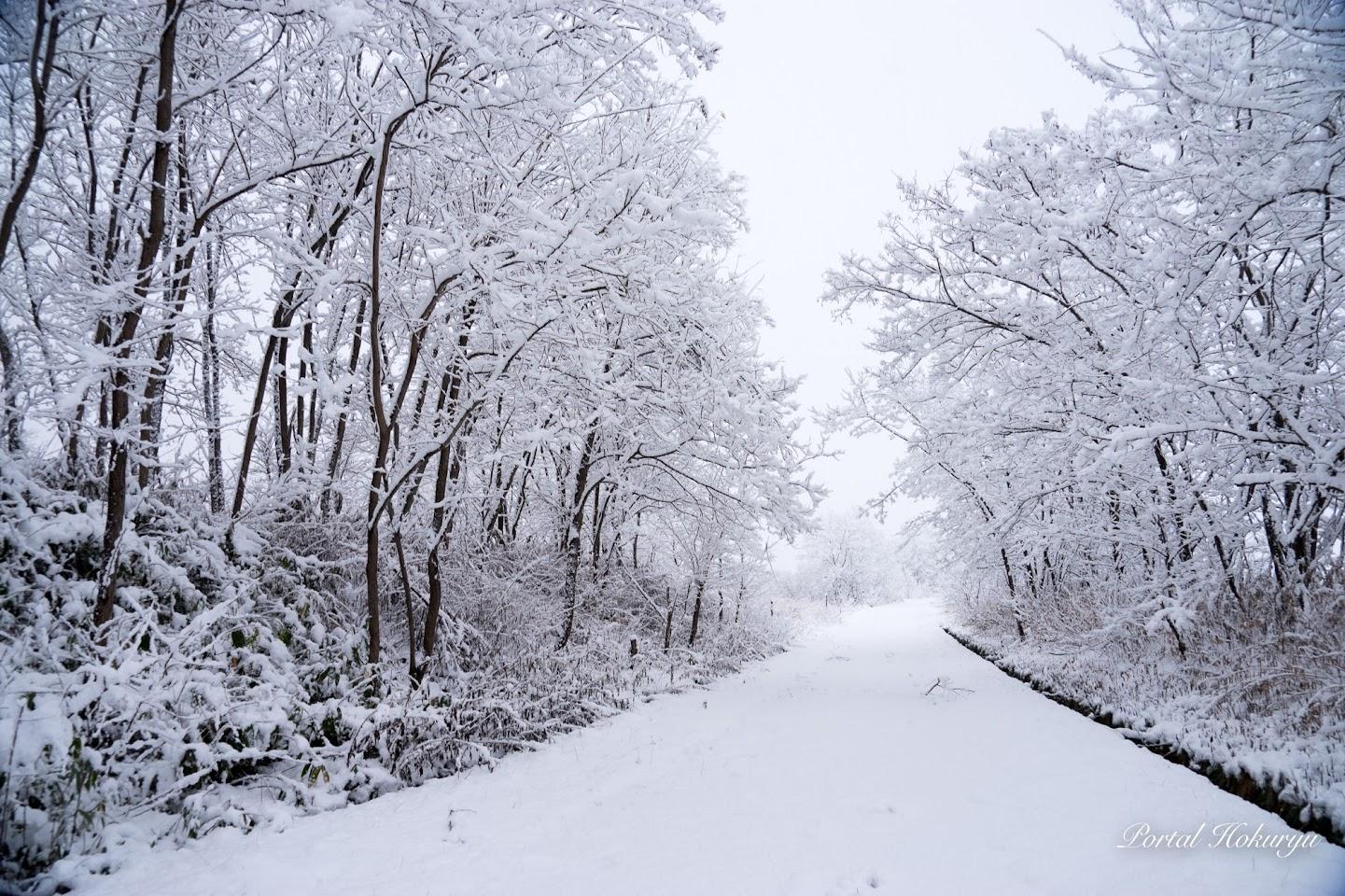 雪をかぶった樹木の白いトンネル