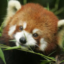 Red Panda New Tab & Wallpapers Collection