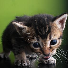 by Syafizul  Abdullah - Animals - Cats Portraits