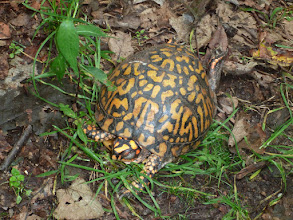 Photo: Eastern Box Turtle