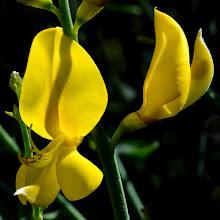 Photo: Spartium junceum, ginestra odorosa, Spanish broom