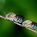 Blue-banded Bees