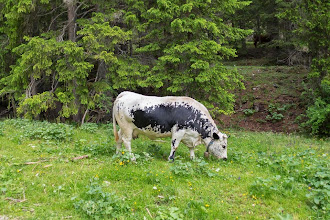 Photo: Cow on Trail 19 in Valle di Braies, Dolomiti, Italy | http://blog.kait.us/2014/06/hiking-dolomites.html